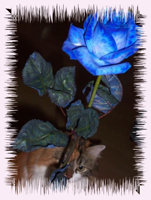 Dosis Blaue Rose von Schatzi!