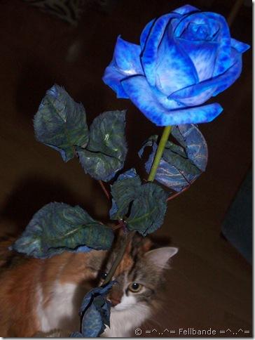 Blaue Rose von Schatzi (3)